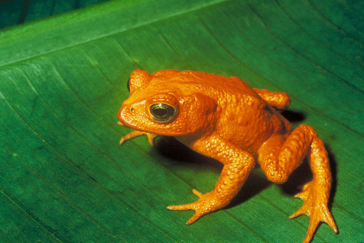 The Golden Toad, extinct since 1989 due to climate change.  Photo by Charles H. Smith, of the U.S. Fish and Wildlife Service, courtesy of Wikimedia Commons.