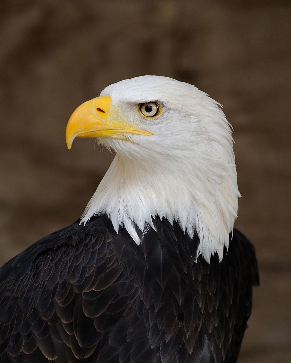 Eagle Is Sacred to the Hopi
