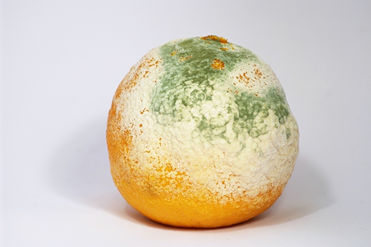 Mold growing on a clementine