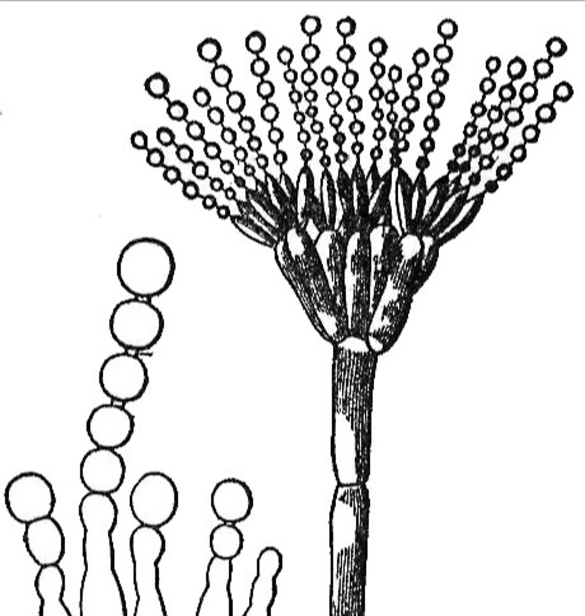 A conidiophore bearing conidia
