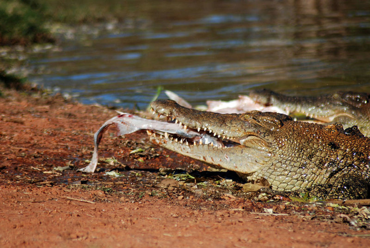 Saltwater Crocodile.  With its aggressive nature, powerful bite and ability to camouflage itself for long periods, this croc is a fearsome predator.  Humans don't usually feature on its menu, however, so it'll usually only attack them by mistake.