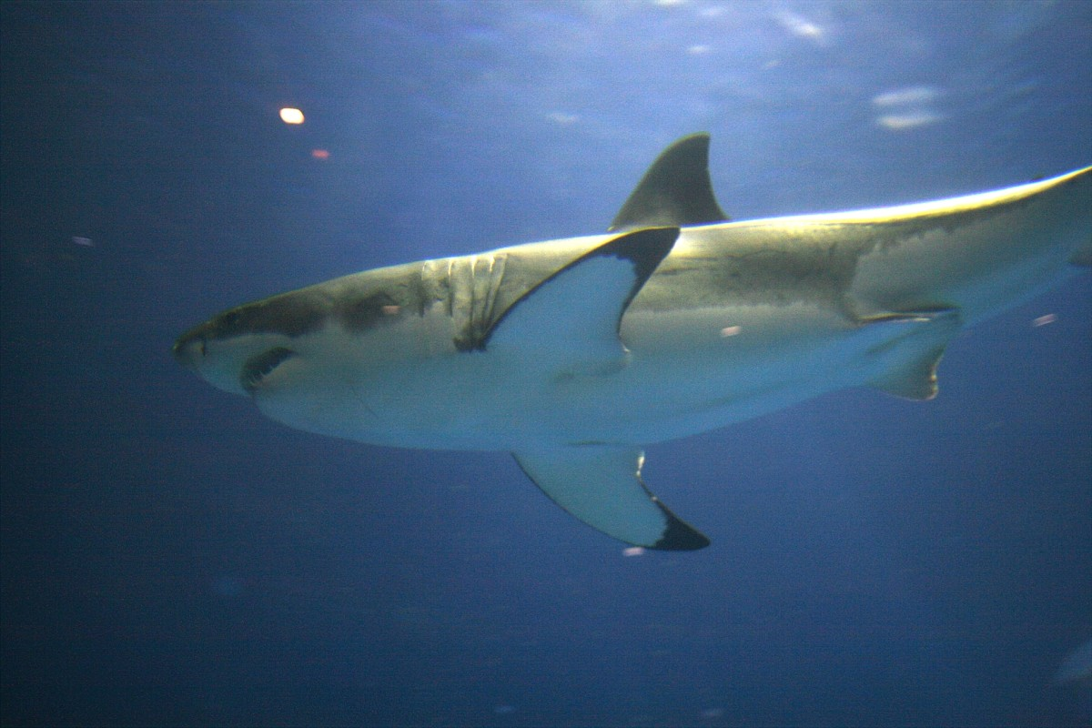 The great white shark was made famous by the movie, Jaws.  These swimming killing machines are huge.  They find humans too bony to eat, however, so only attack people when mistaking them for other prey.
