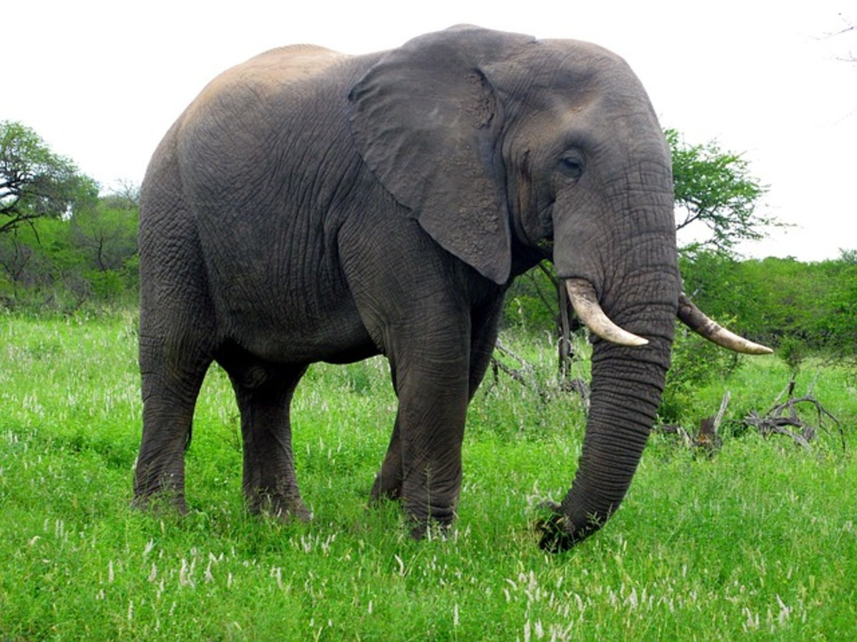 African Elephant.  Elephants are so big and heavy that even a small temper tantrum can result in serious injury or even death.