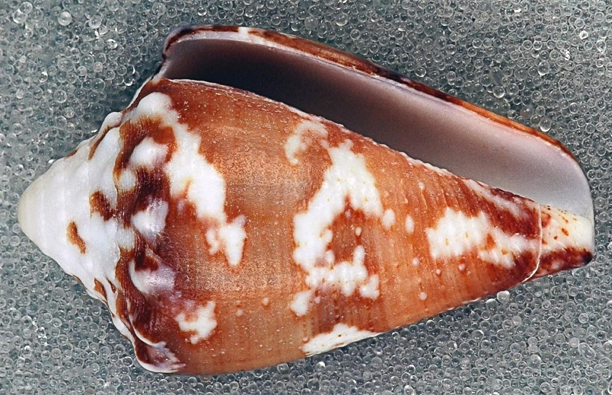 Conus regius or the royal cone snail