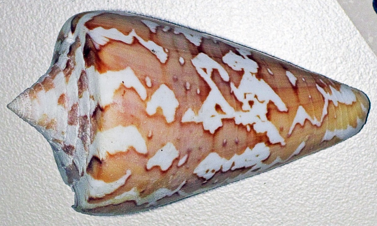 Conus archon or the magistrate cone snail