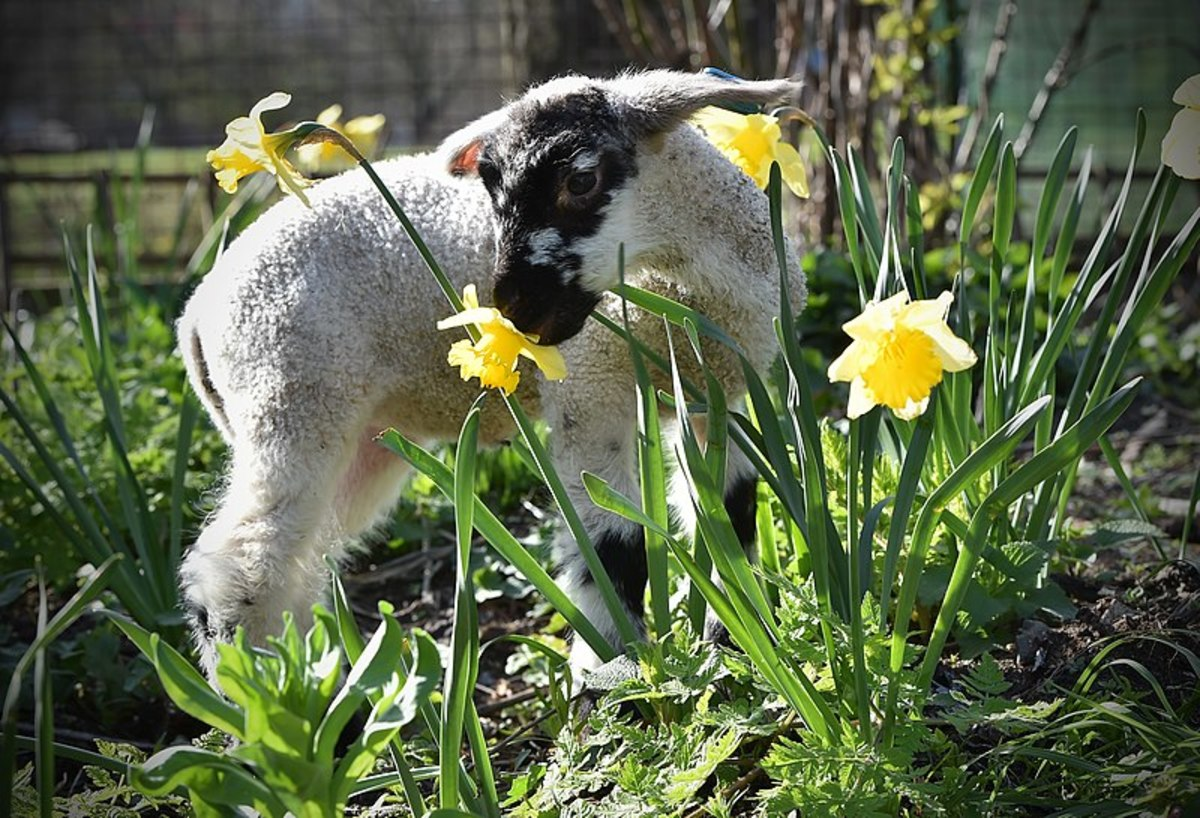 New-born lambs are one of the first signs of Spring.