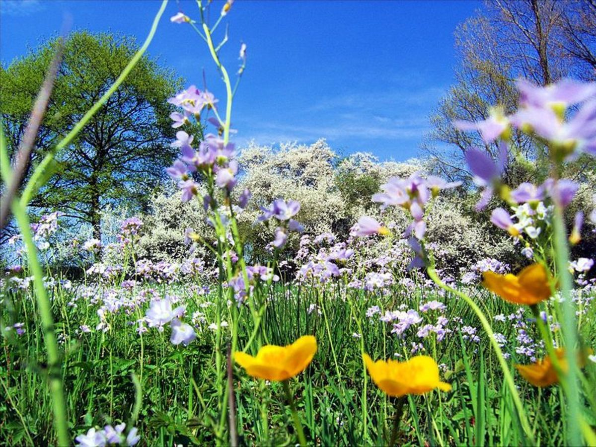 A grass meadow in springtime is alive with the sound of buzzing insects.