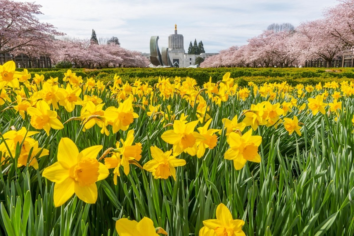 A host of golden daffodils are a heart-stopping sight.
