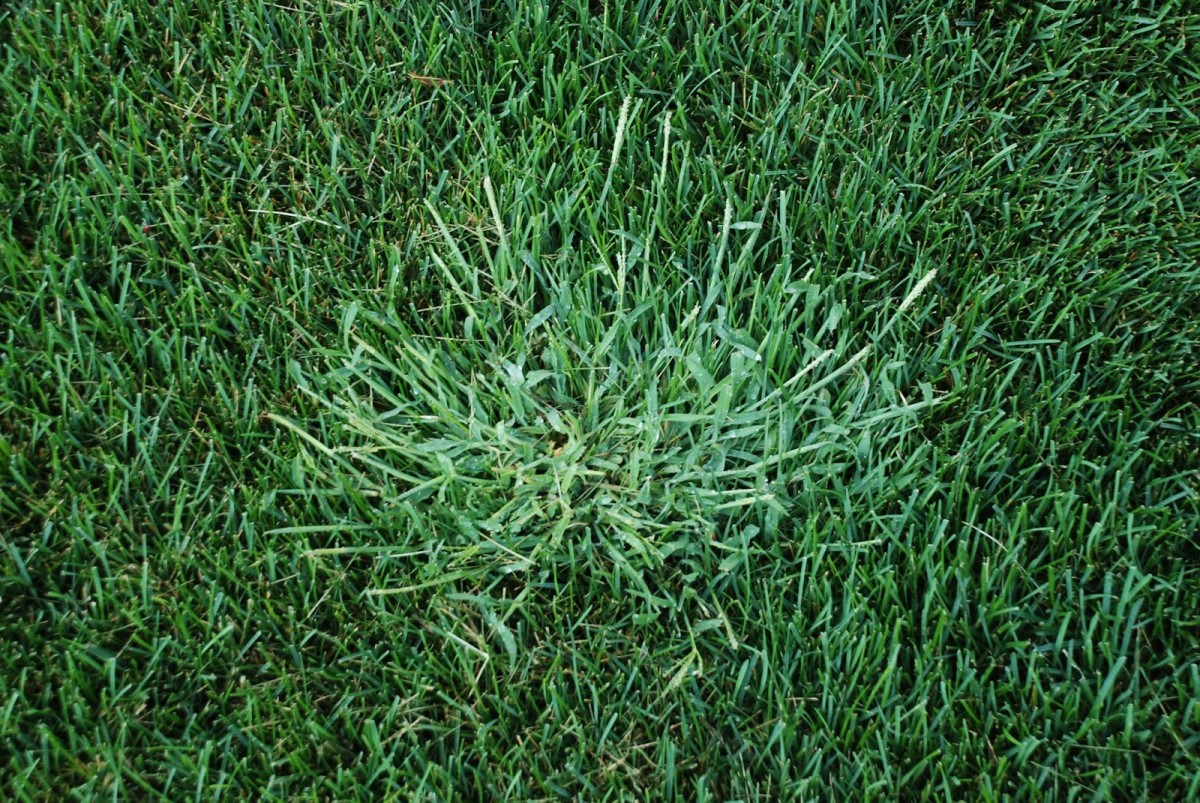 An otherwise beautiful, lush green lawn can be quickly turned into something ugly by crabgrass.