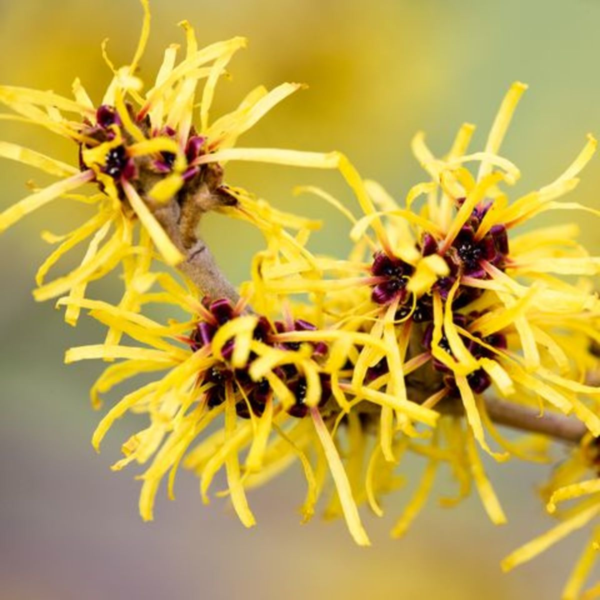 Witch hazel is indigenous to North America and parts of Asia. It has a history of use for sores, wounds, hemorrhoids, and other external abrasions, and was used medicinally by a variety of Native American tribes.