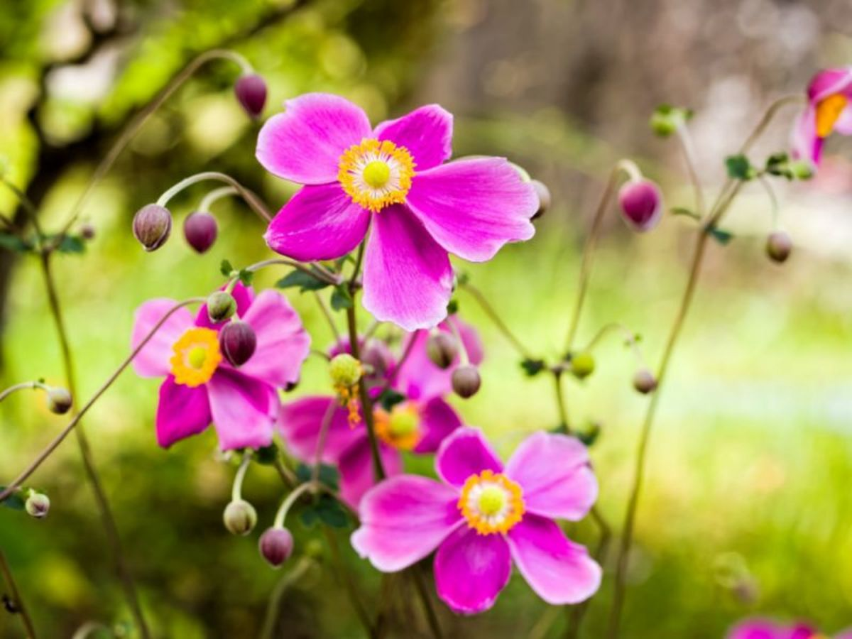 Japanese anemone is just one of the many wonderful fall-blooming flowers you can grow in your garden.