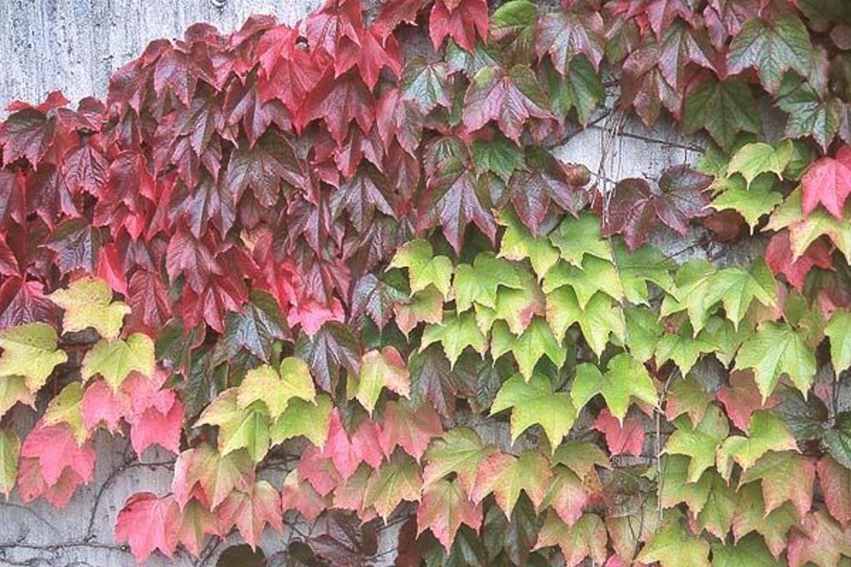 Boston ivy is a clinging, climbing vine that produces beautiful colors from spring to fall. In the winter, it produces dark blue berries that the birds love. Great for covering unsightly walls or fences.
