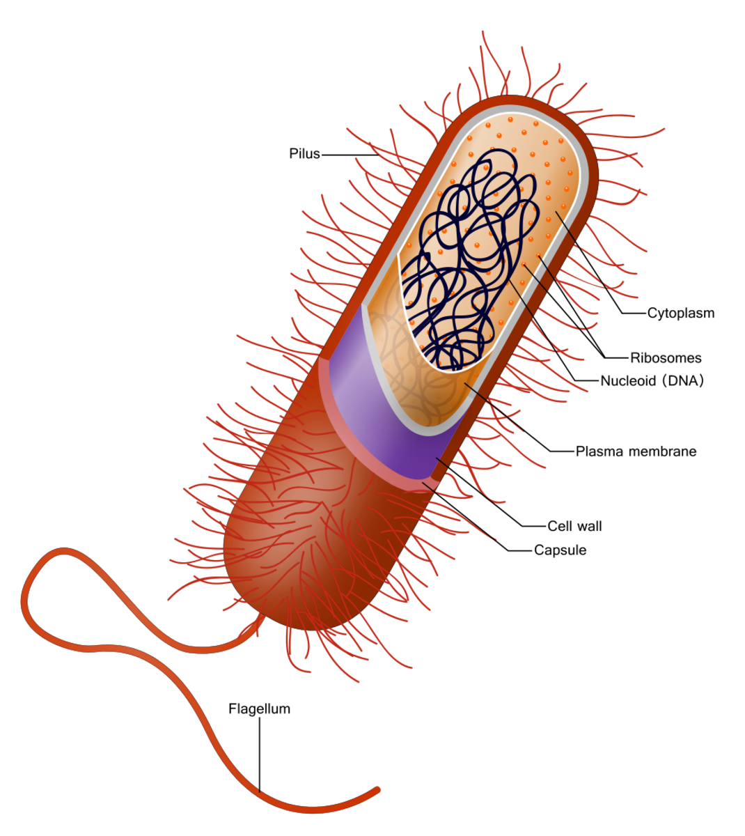 A bacterial cell (Some bacteria don't have a flagellum, capsule, or pilli. They may also have a different shape.)