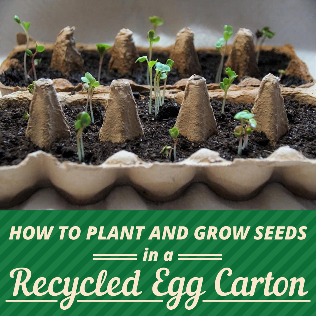 How to Start Seeds in an Egg Carton (and Transplant the Seedlings)