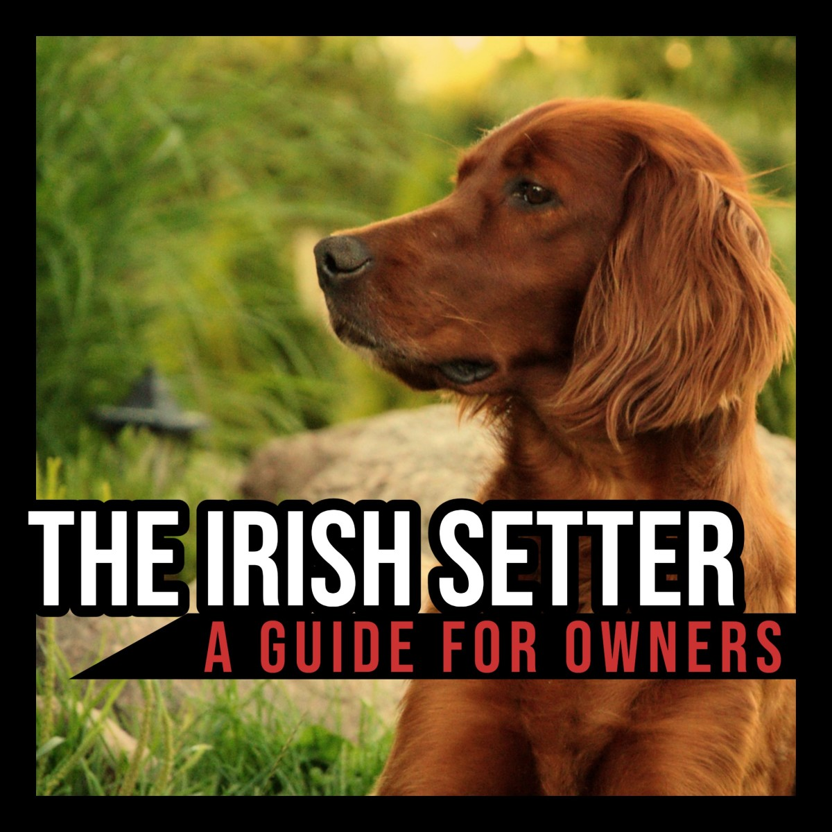 The Irish Setter: A Guide for Owners