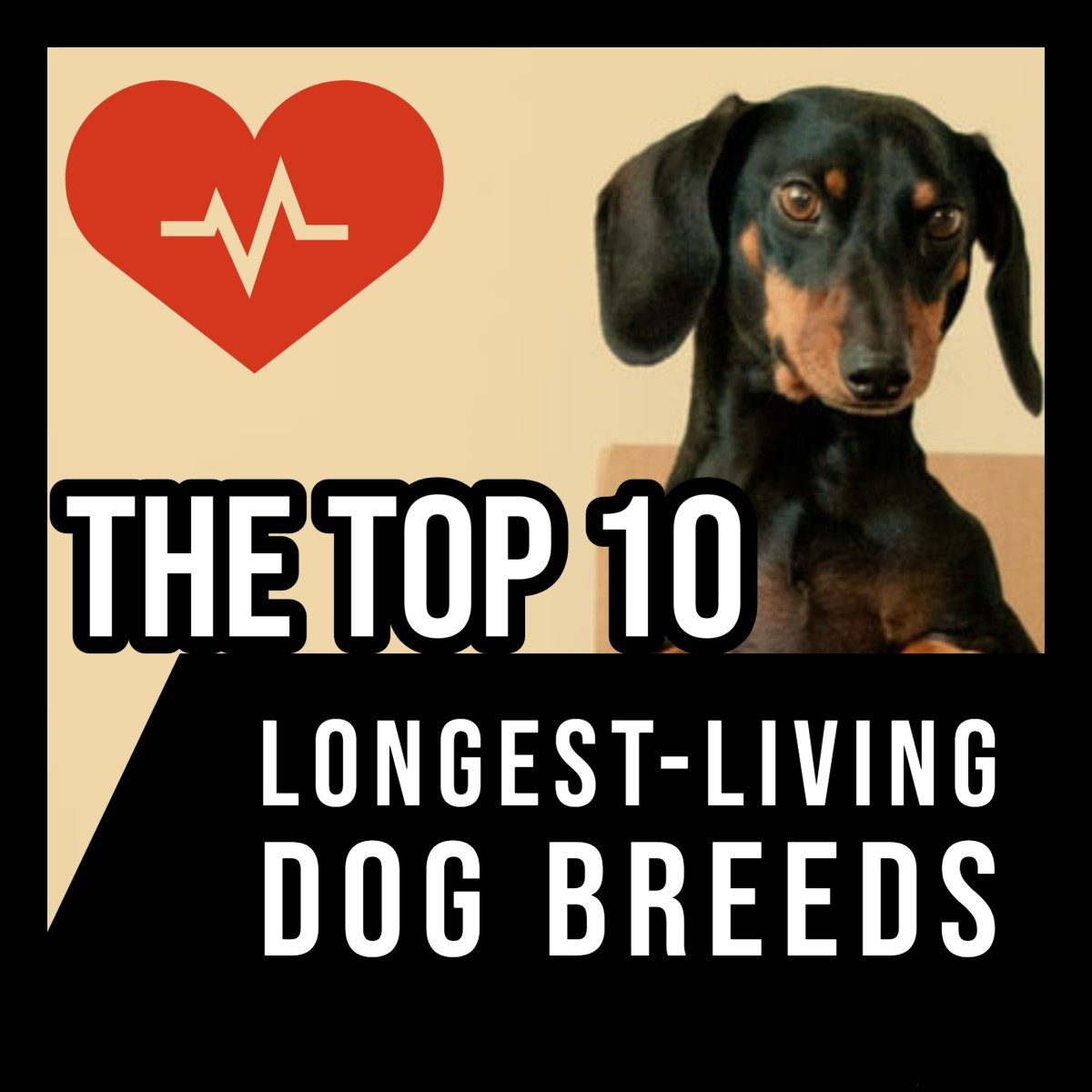 From the Australian Cattle Dog to the Chihuahua, this article ranks the world's 10 longest-living dog breeds.