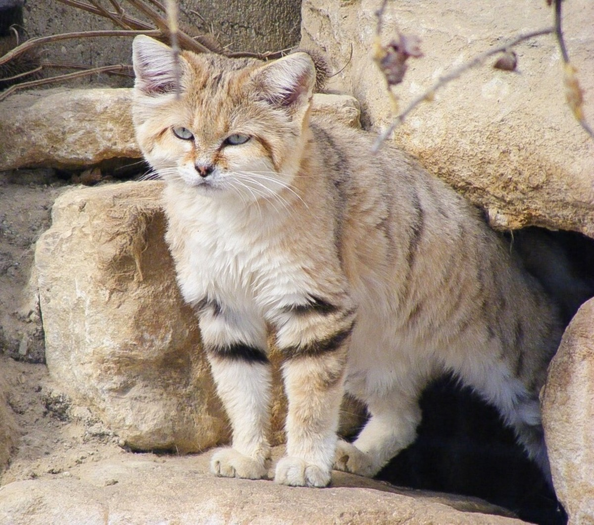A sand cat in captivity