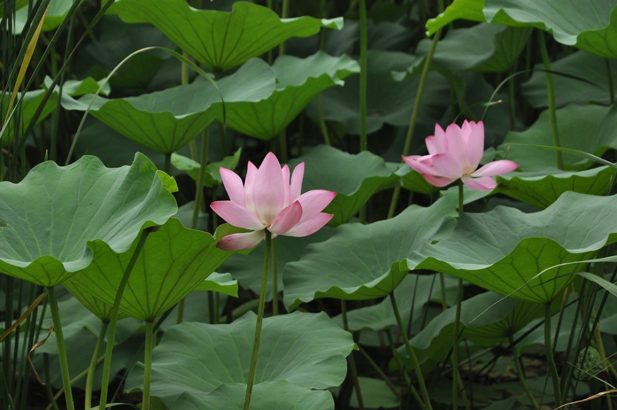 Every part of the sacred Lotus is edible!