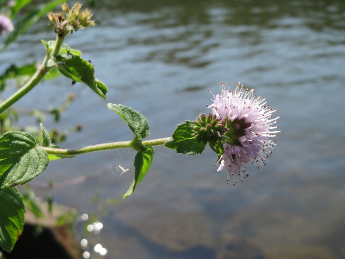 Lovely in appearance and aromatic, water mint (Mentha aquatica) can be potted, grown in a pond, or hung from floating baskets.