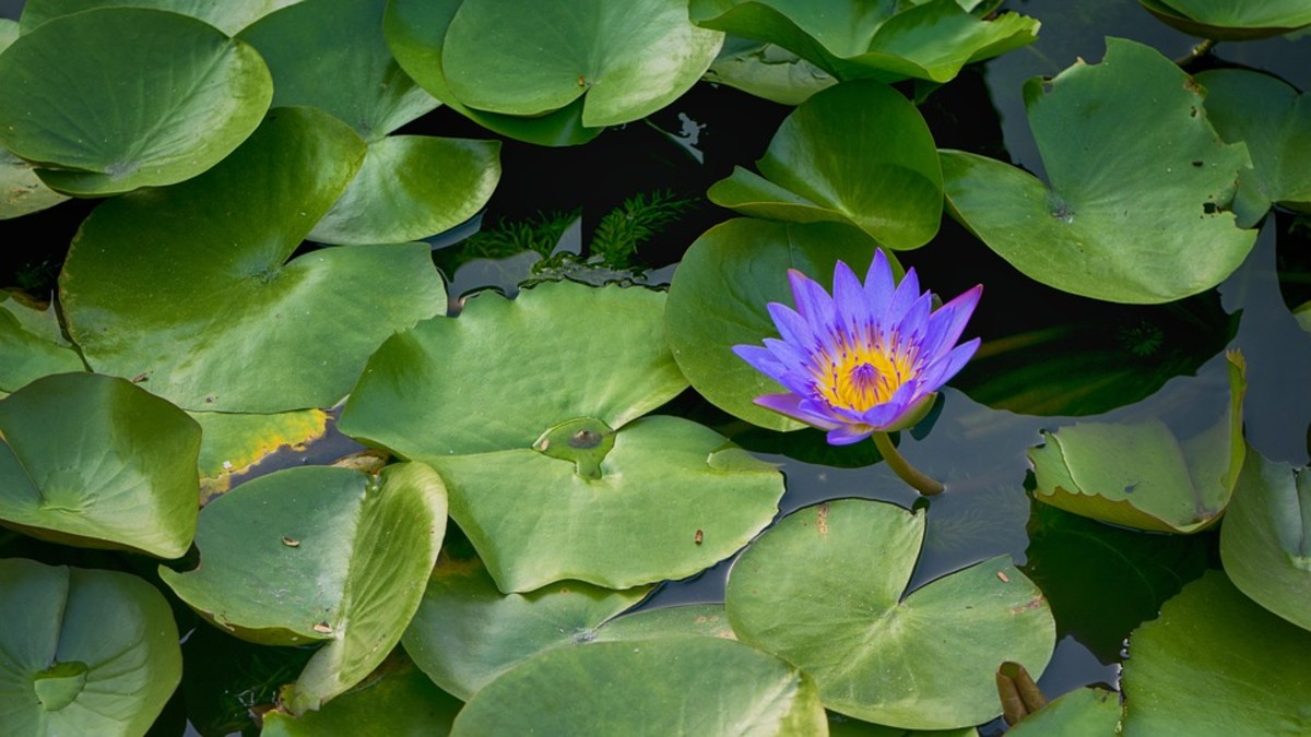 Edible aquatic plants can bring a vibrant vitality to ponds and backyard water features!