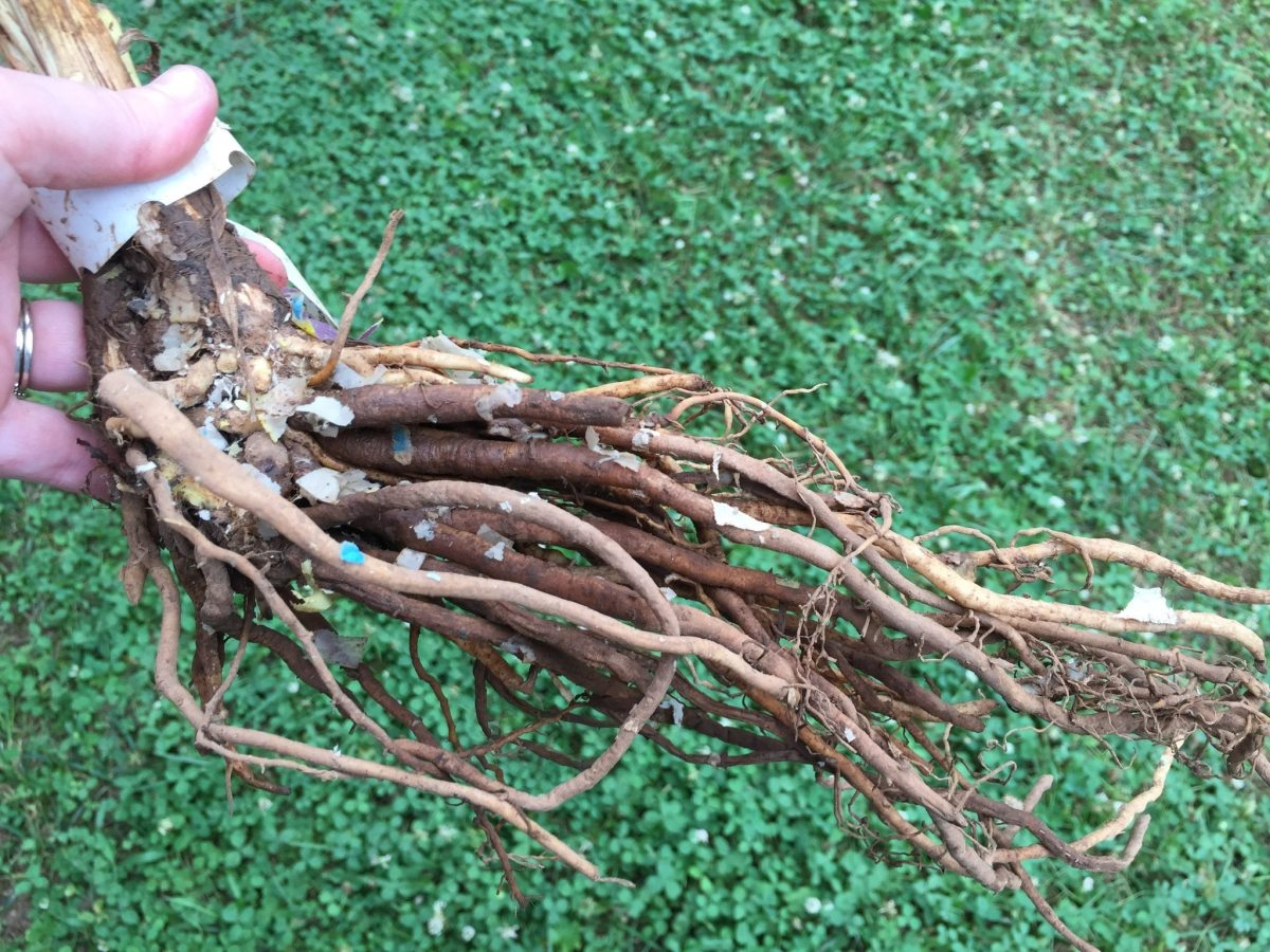 Bare root plants are perennials, shrubs or trees grown in nurseries, then dug up while dormant. They are prepared and packaged to be shipped directly to the customer, or refrigerated until time for shipment. It eliminates the need for black pots.