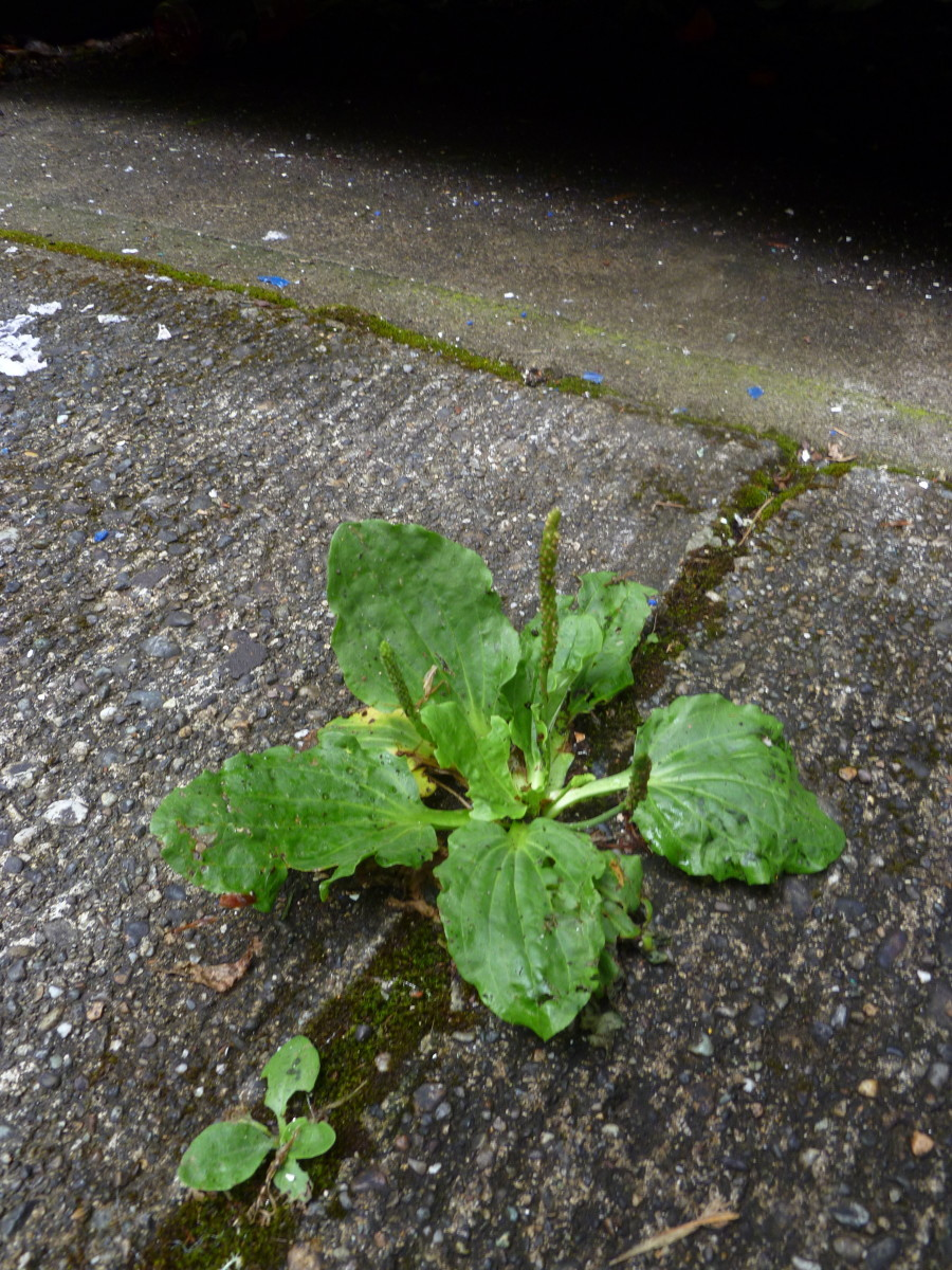 These common weeds can be found growing just about anywhere.