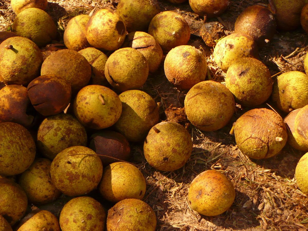 Black walnuts in shells