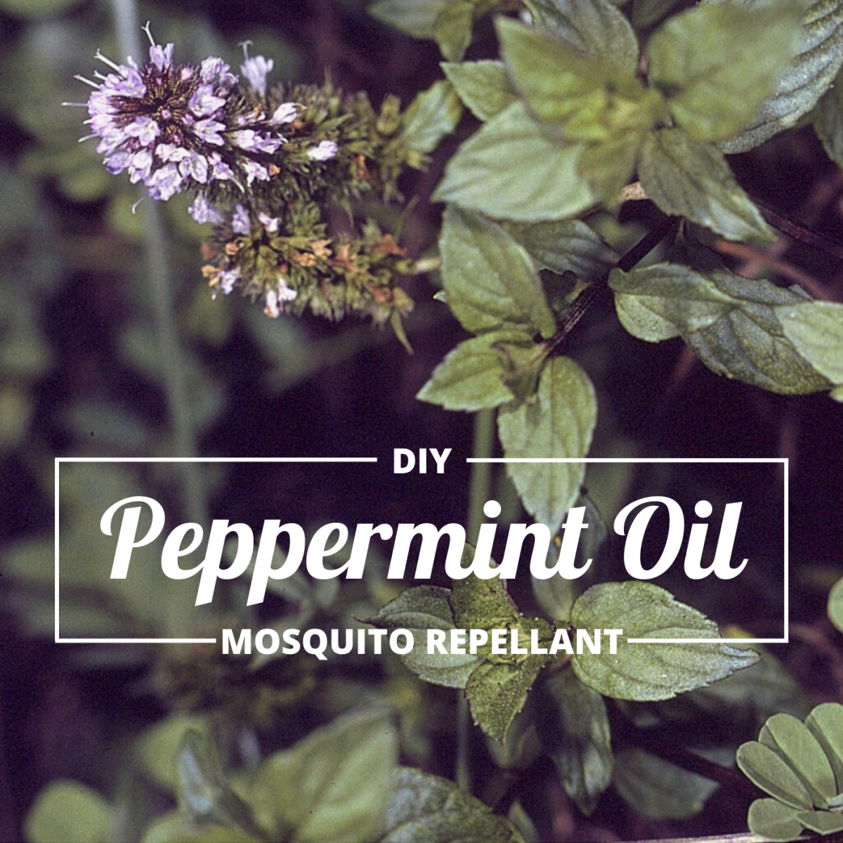 Traditional mosquito repellants are expensive and contain harsh chemicals. Peppermint oil is a cheaper and more natural alternative.