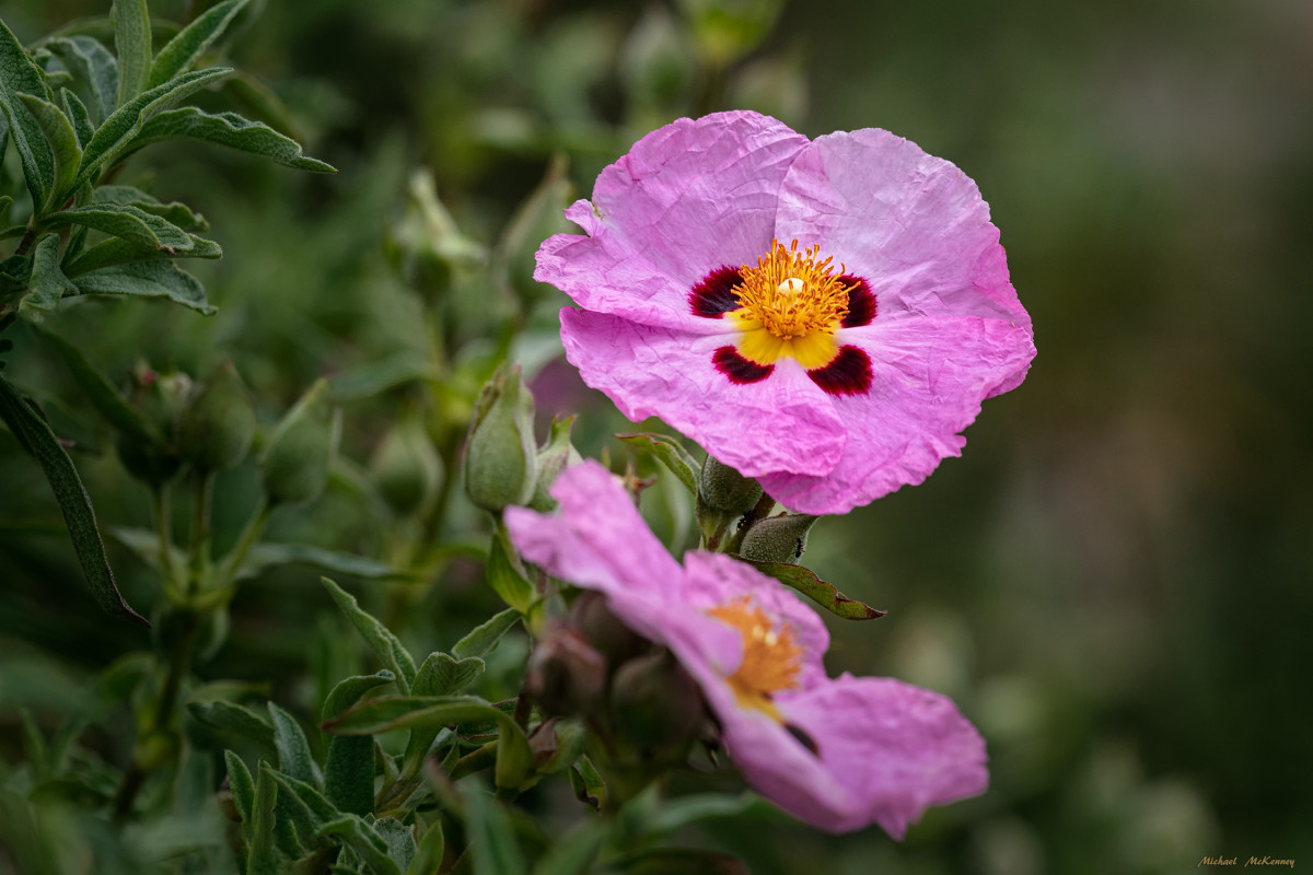 The Purple (Orchid) Rockrose