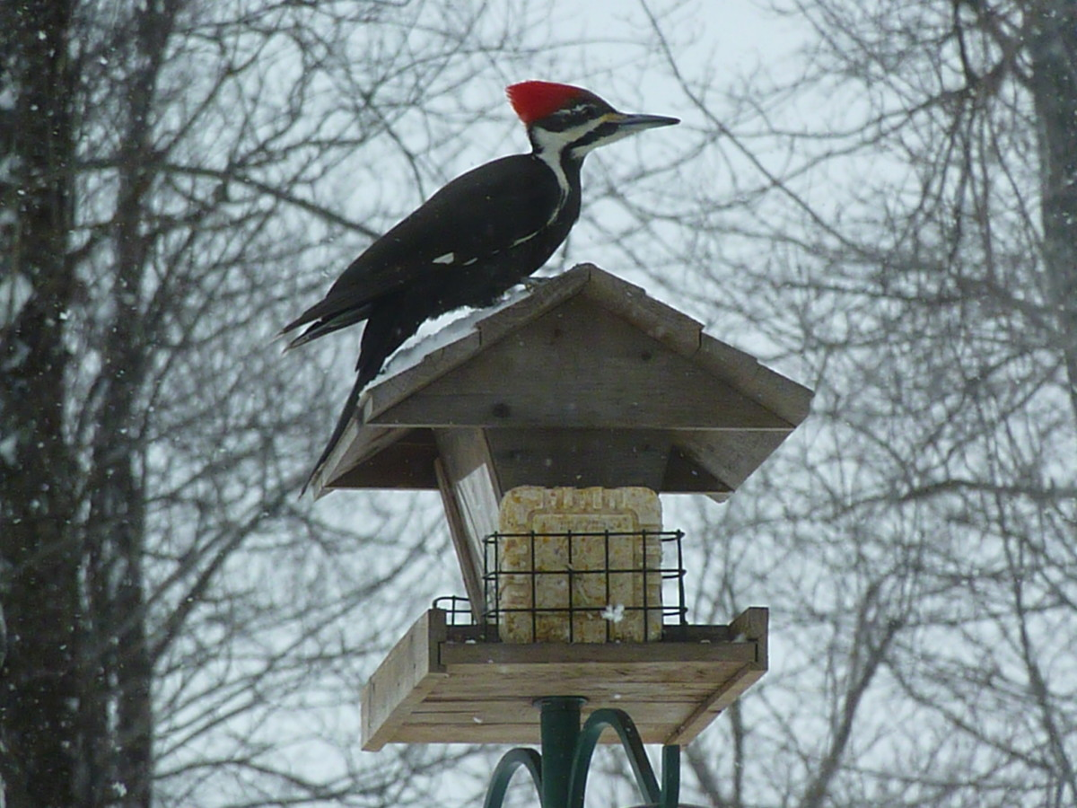 A Guide to Identifying 5 Common East Coast Woodpeckers