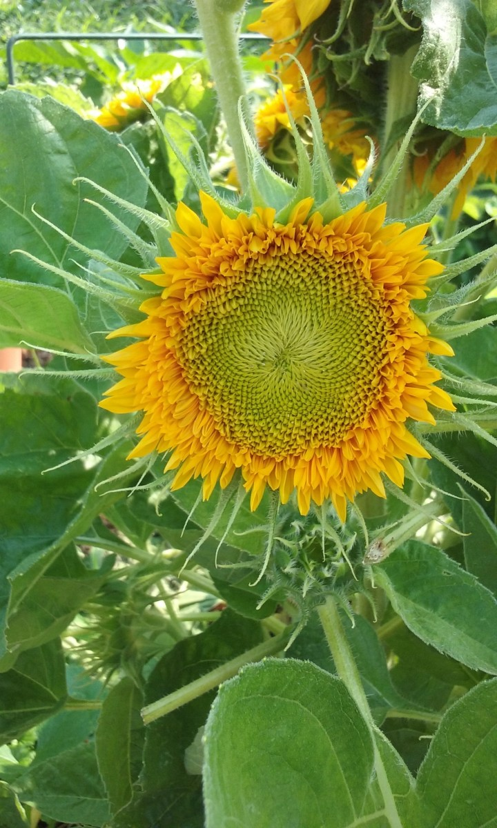Sunflower blossom in early stage.