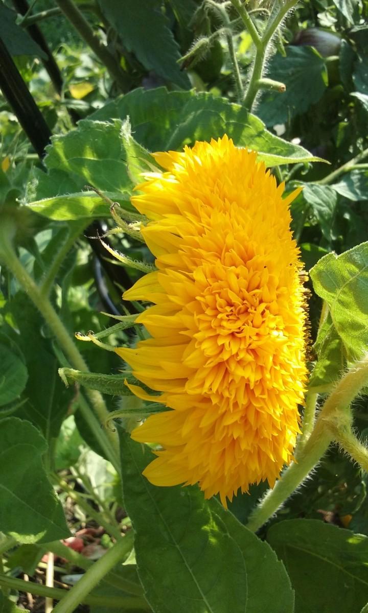 Sunflower blossom.