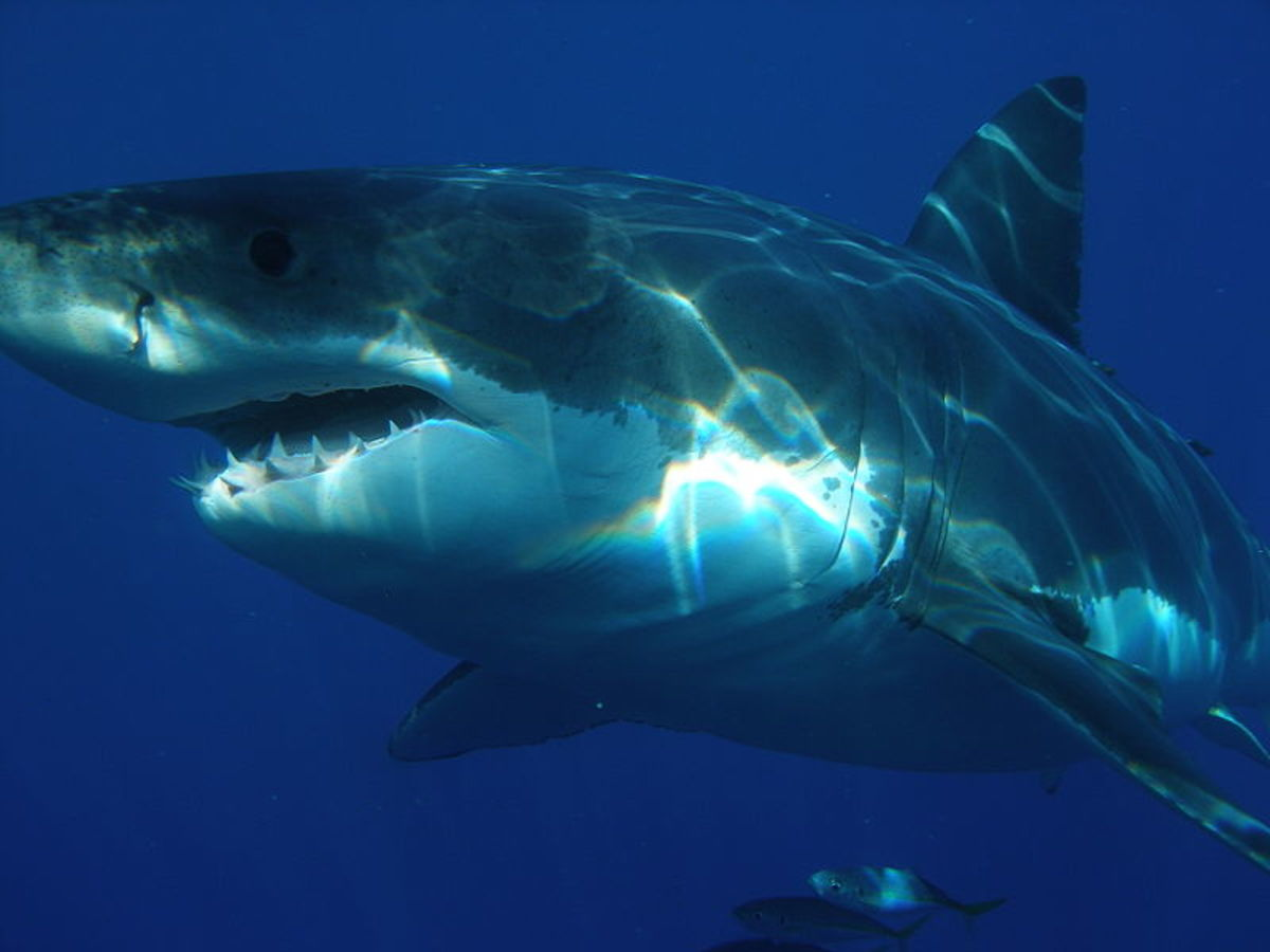 Megalodon was three times the size of the largest Great White Sharks!