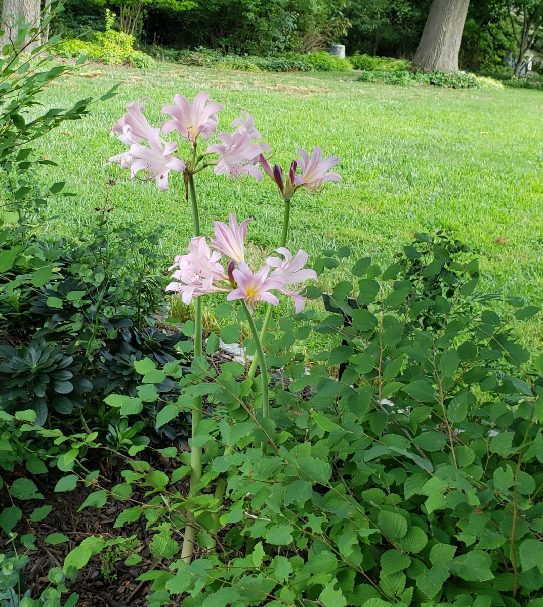 Gardeners like to plant perennials around their resurrection lilies to hide their lack of foliage.