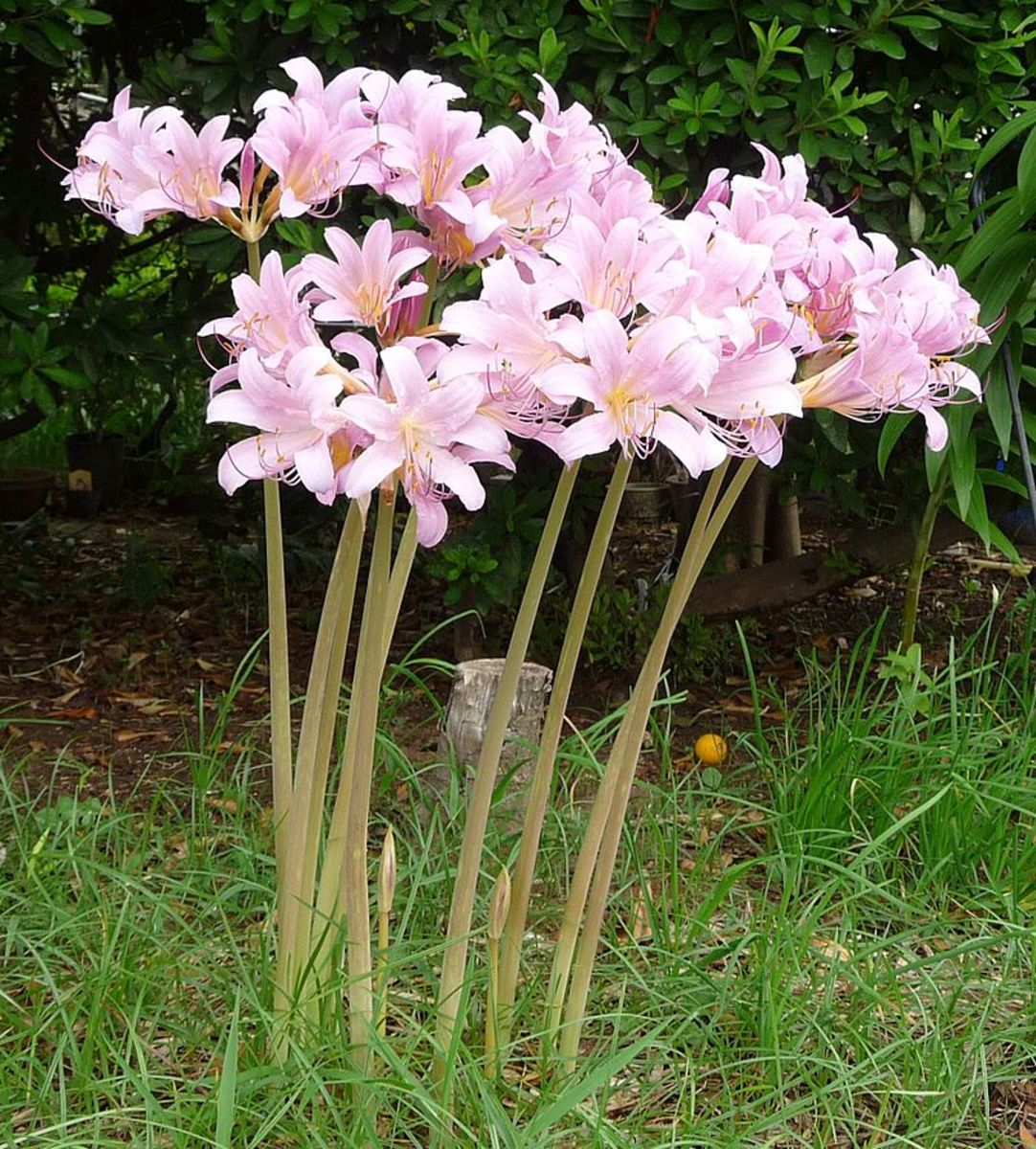 In August, resurrection lilies send up flower stalks but no leaves.