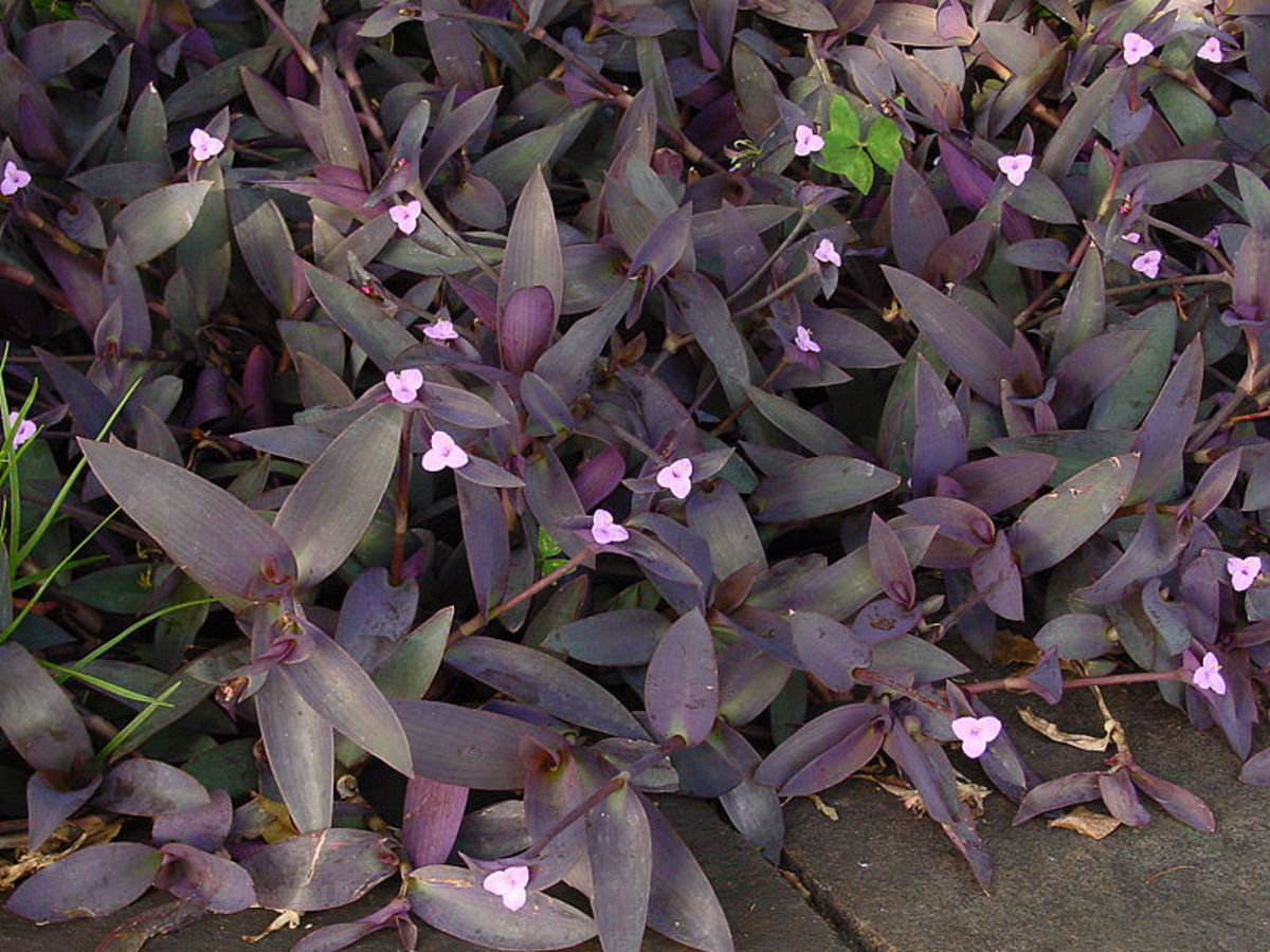 The flowers of Wandering Jew have three petals which is characteristic of the spiderwort family.