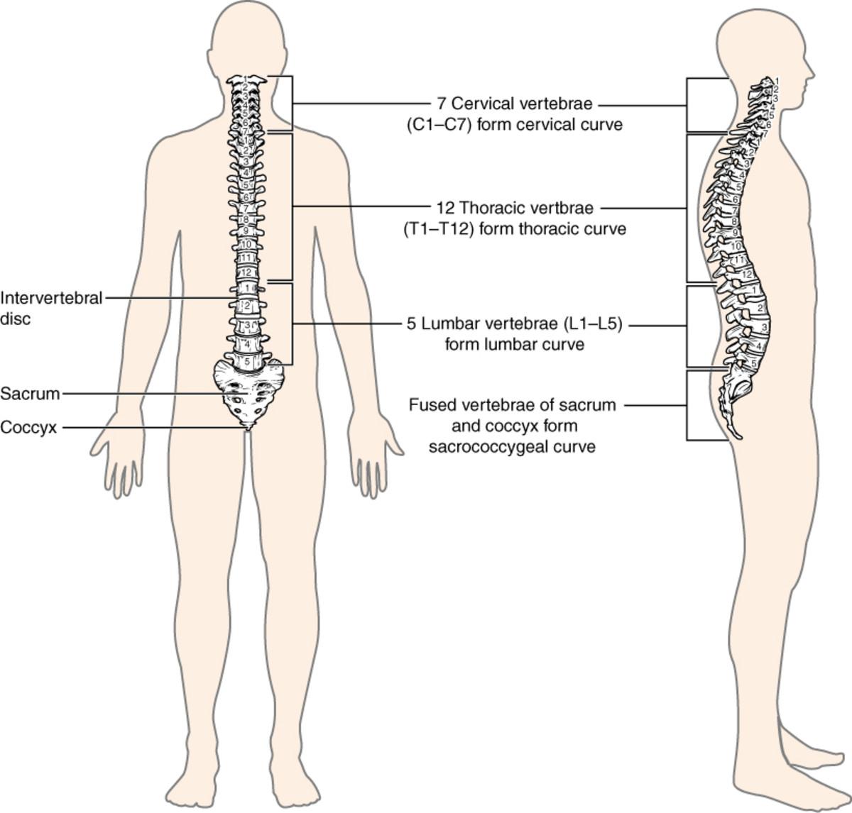The vertebral column or spine