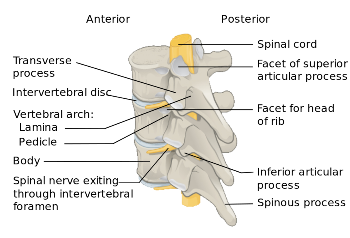 A side and back view of three vertebrae that shows the intervertebral disks