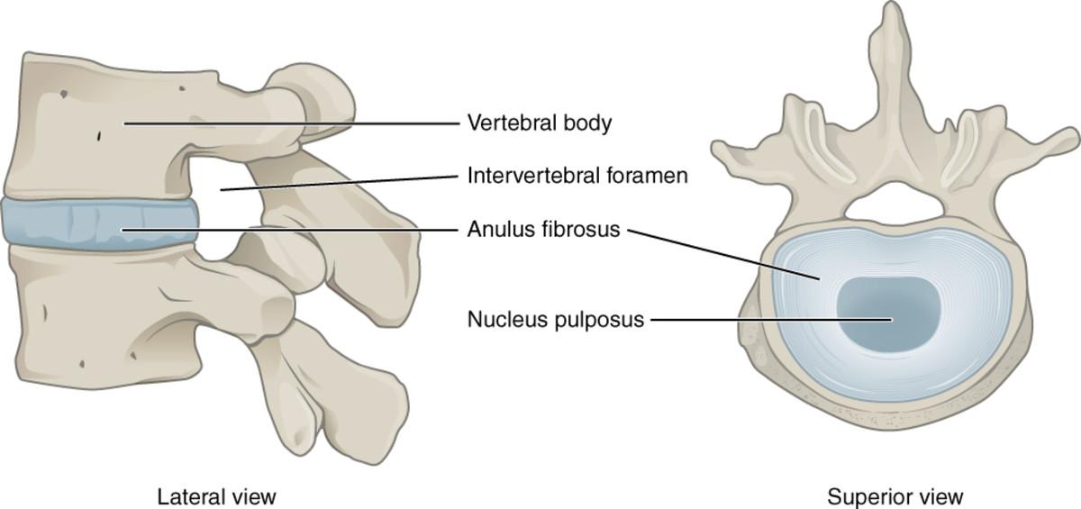 Two vertebrae and an intervertebral disk