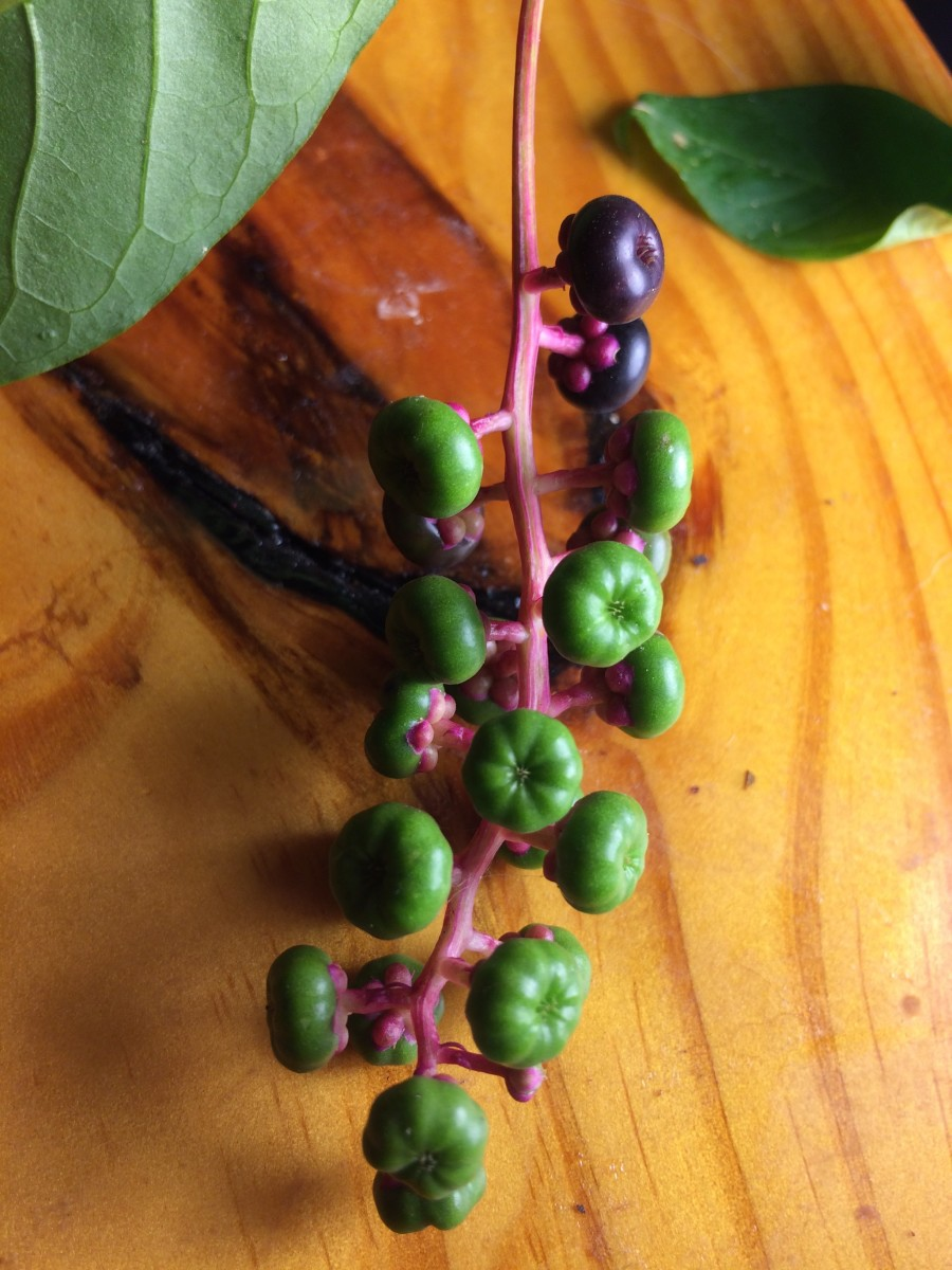 Some green and fully ripe purple berries. Do not harvest plant.