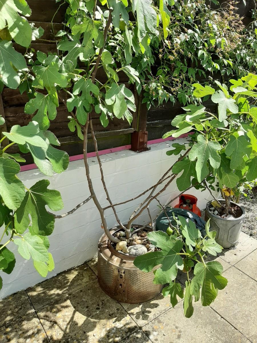 Brown turkey fig tree planted in a washing machine drum