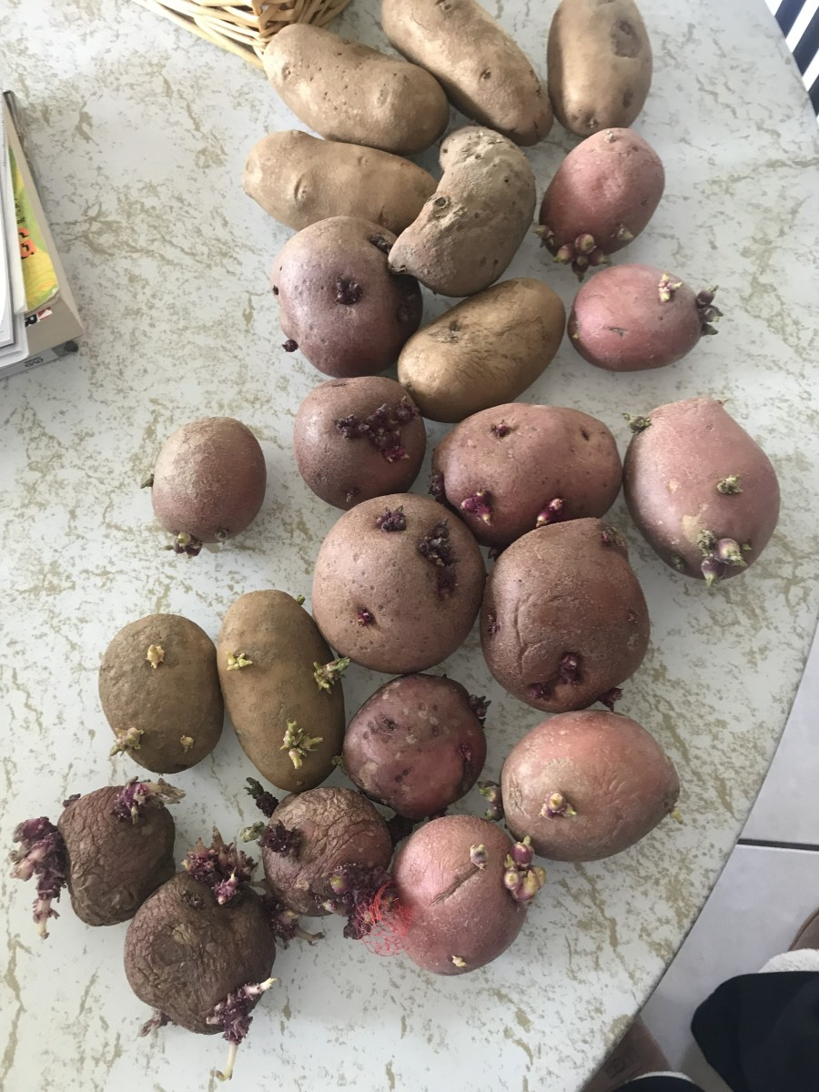 Rotting potatoes
