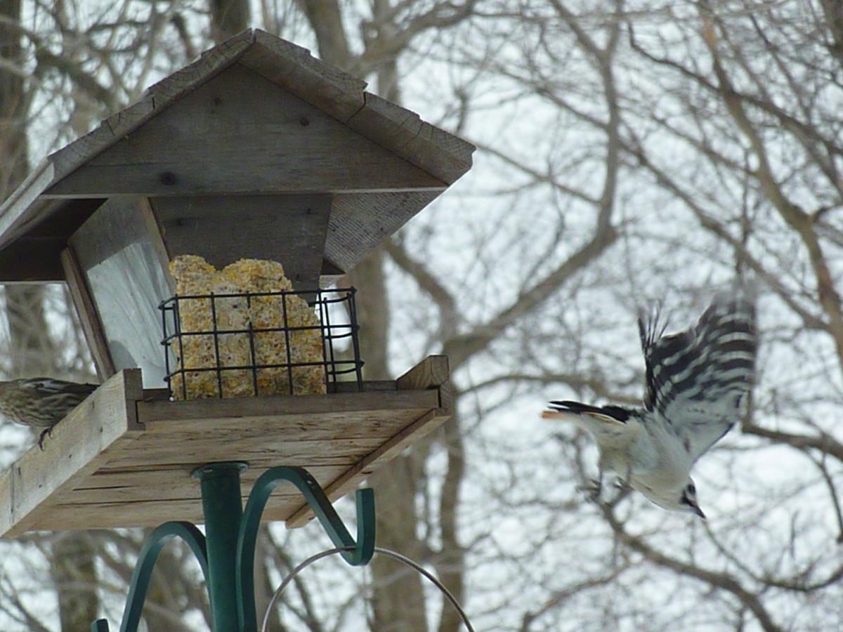 Hairy woodpecker flies away
