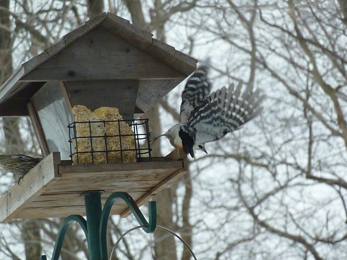 Hairy woodpecker takes flight