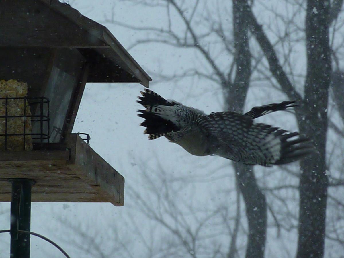 Red-bellied woodpecker flying away