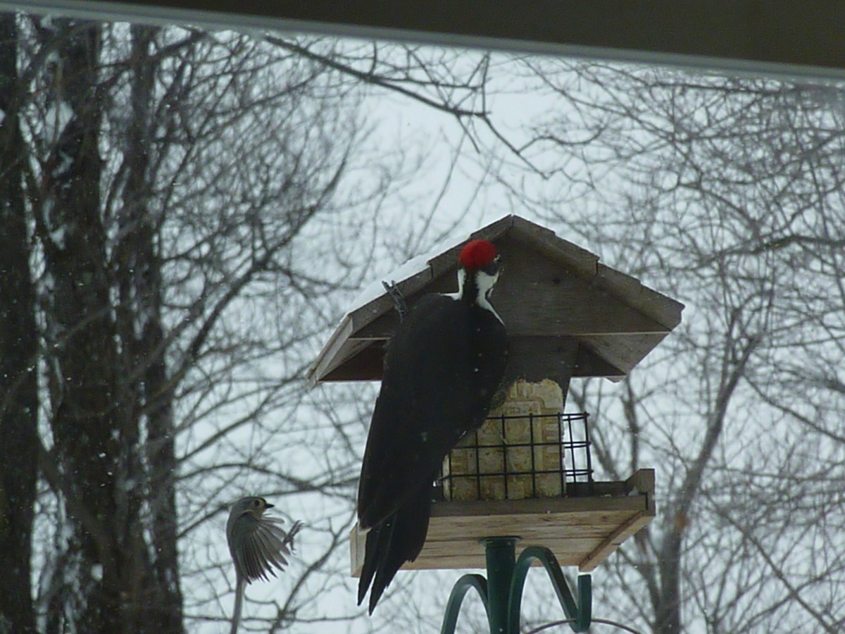 Tufted Titmouse and Pileated Woodpecker