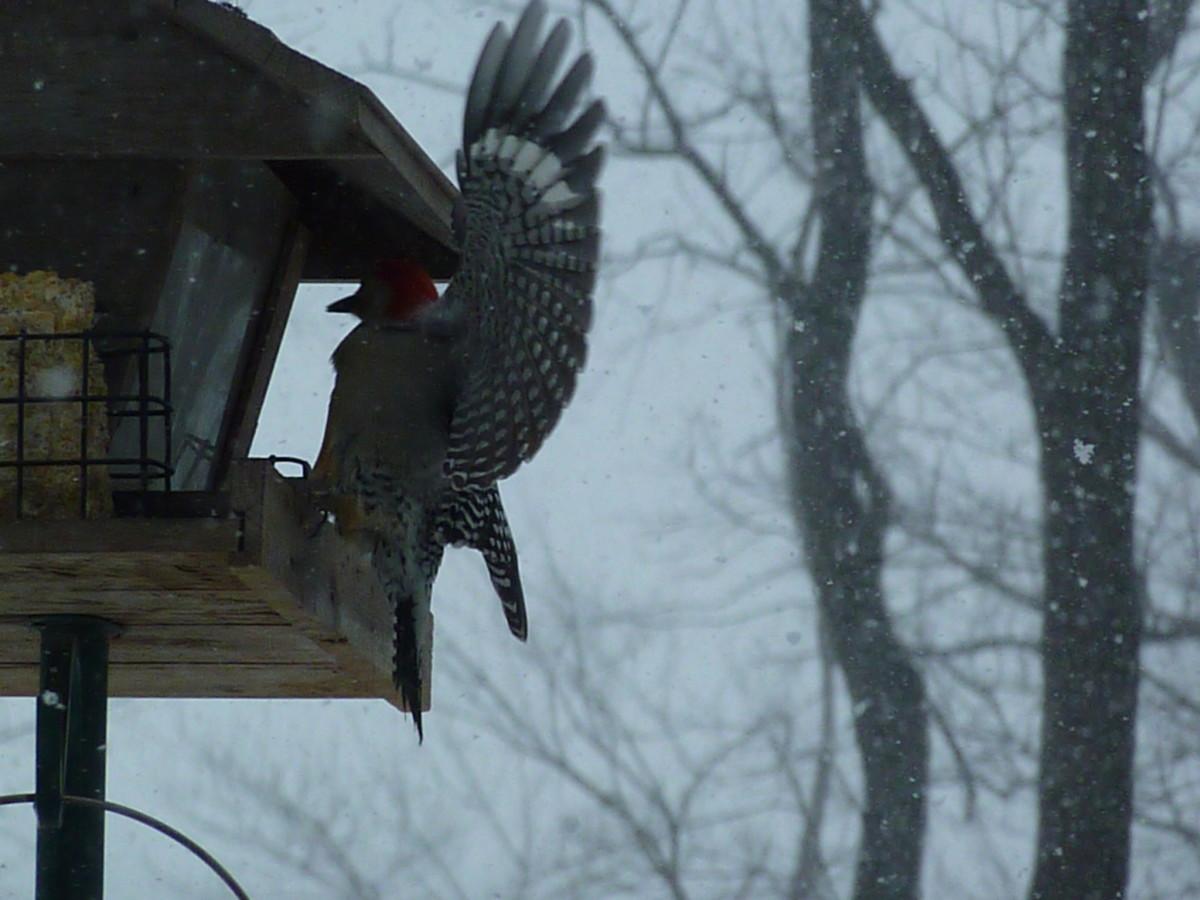 Red-bellied woodpecker spreading its wings