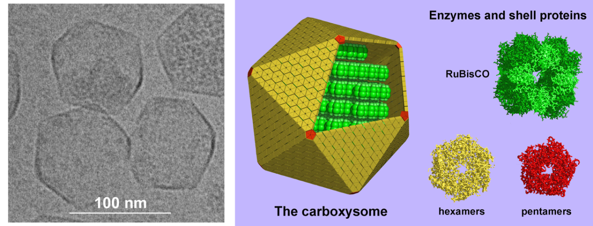 Carboxysomes (on the left) and a representation of their structure (on the right)