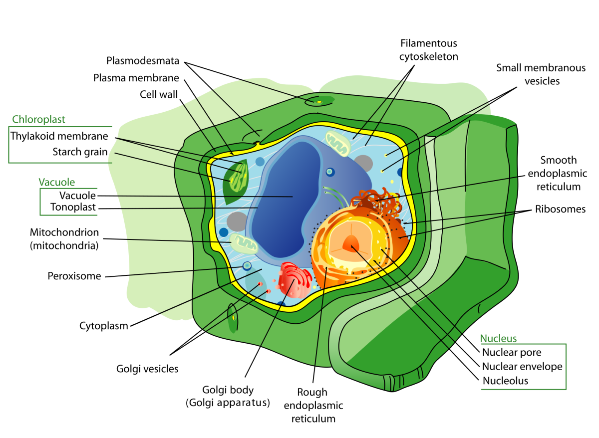 A plant cell has a wall made of cellulose and chloroplasts that perform photosynthesis.(The true extent or number of some of the organelles isn't shown in the illustration.)