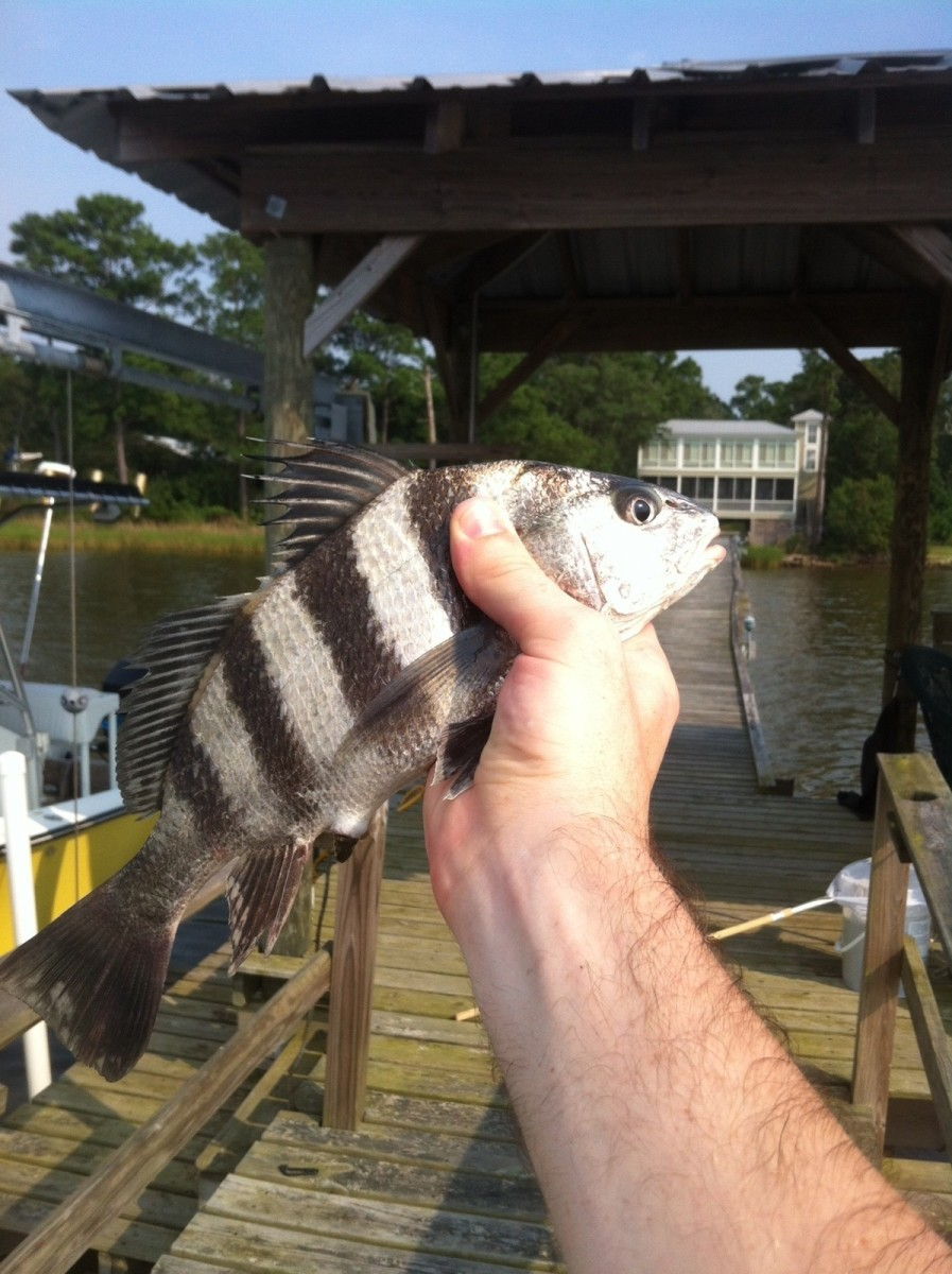 A juvenile black drum; the stripes disappear in the adult